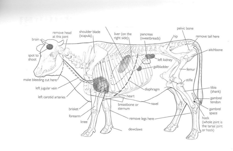 cow diagram anatomy