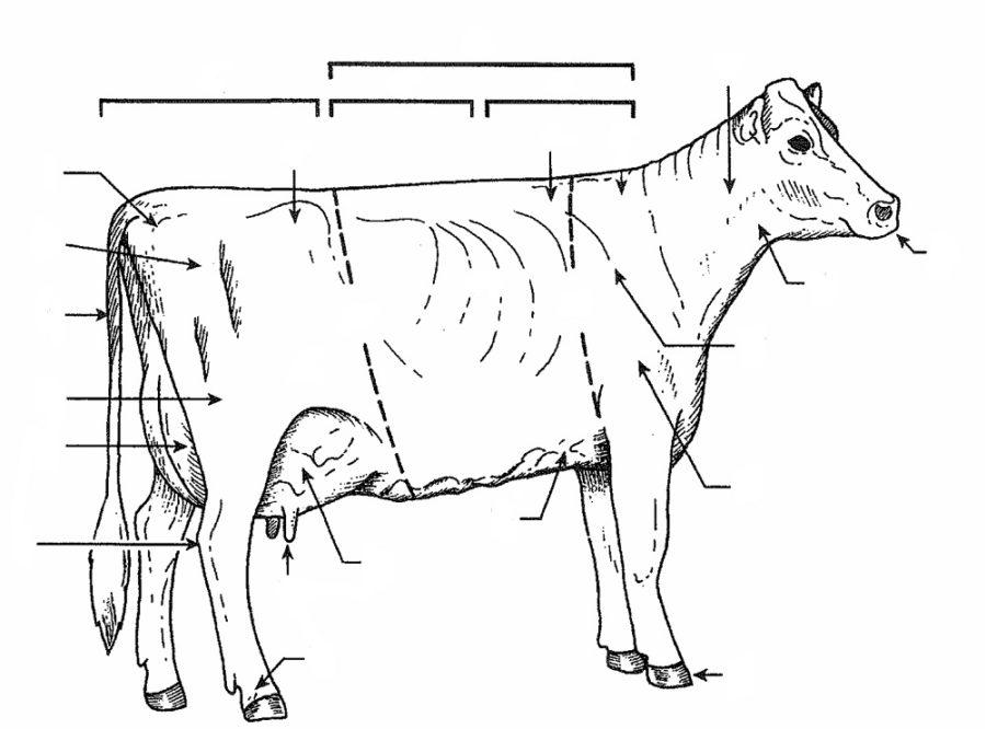 cow diagram blank