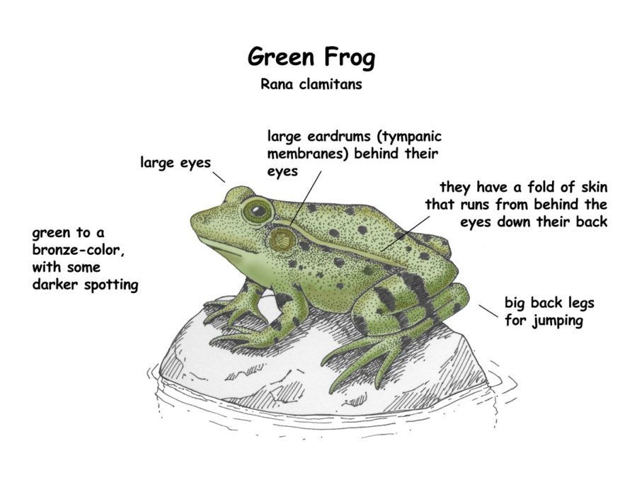 diagram of a frog image