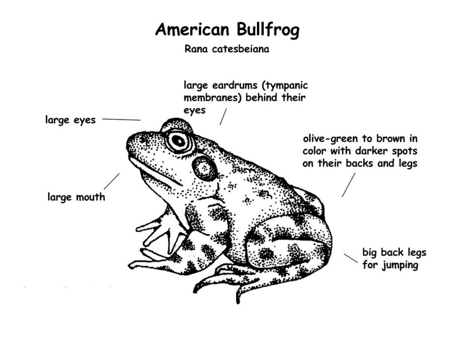 diagram of a frog page