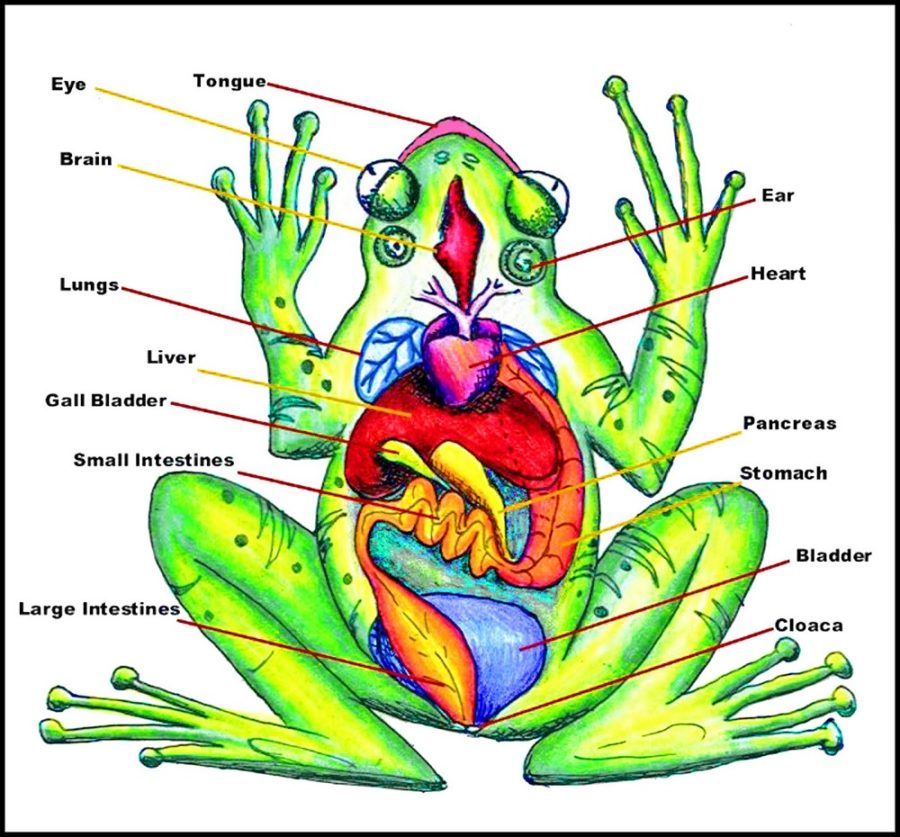 diagram of a frog picture