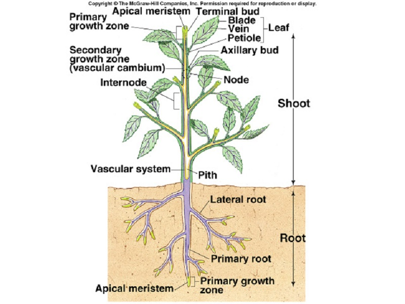 diagram of a plant anatomy