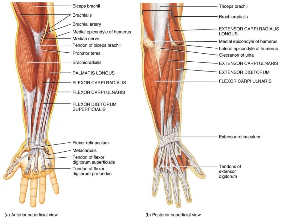diagram of muscles arms