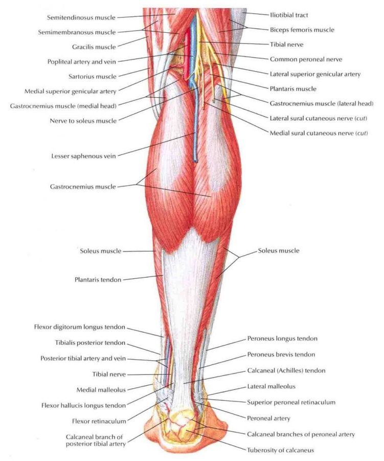 diagram of muscles free