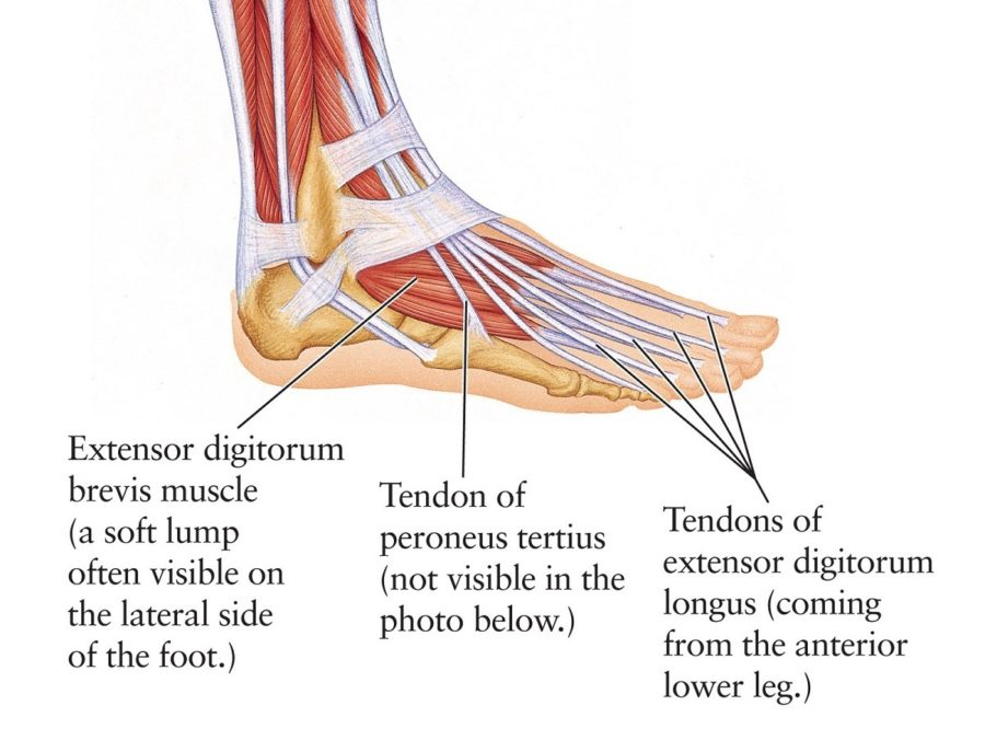 diagram of muscles of foot