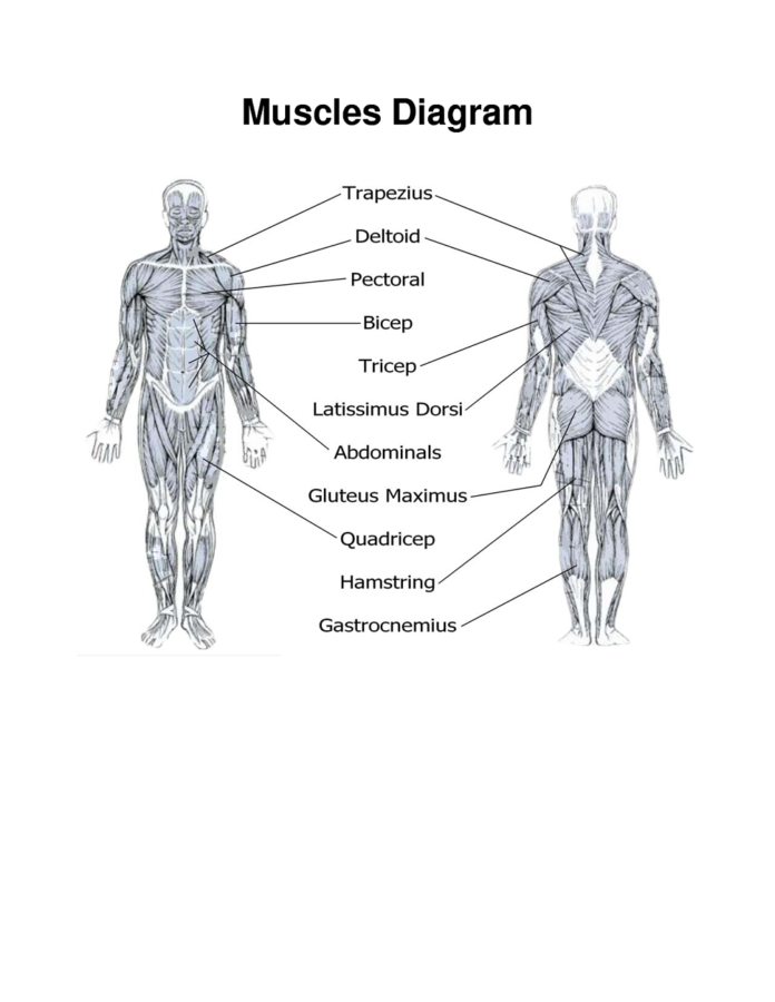 diagram of muscles printable