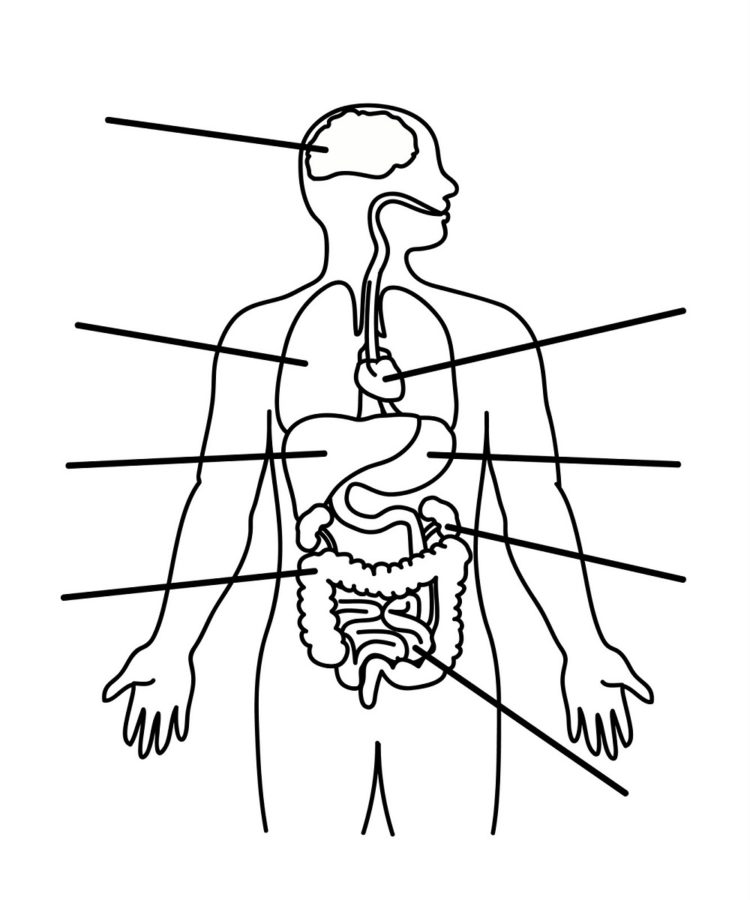 diagram of organs blank
