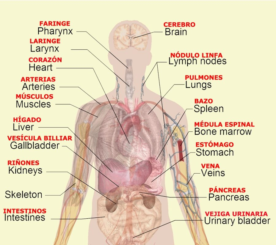 diagram of organs page