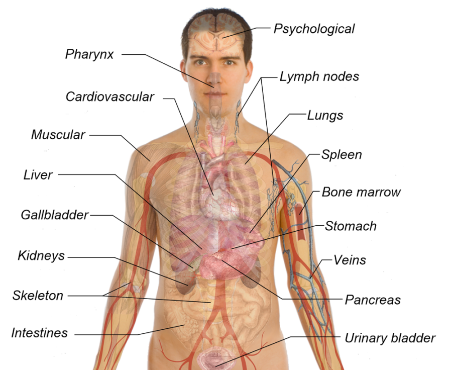 diagram of organs picture