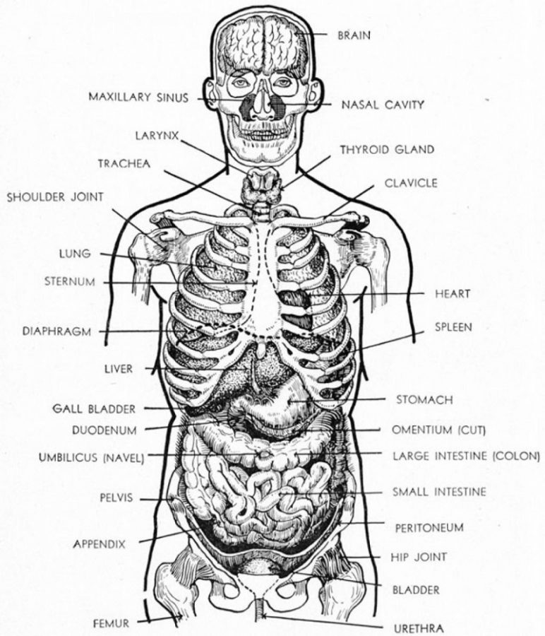 diagram of organs printable