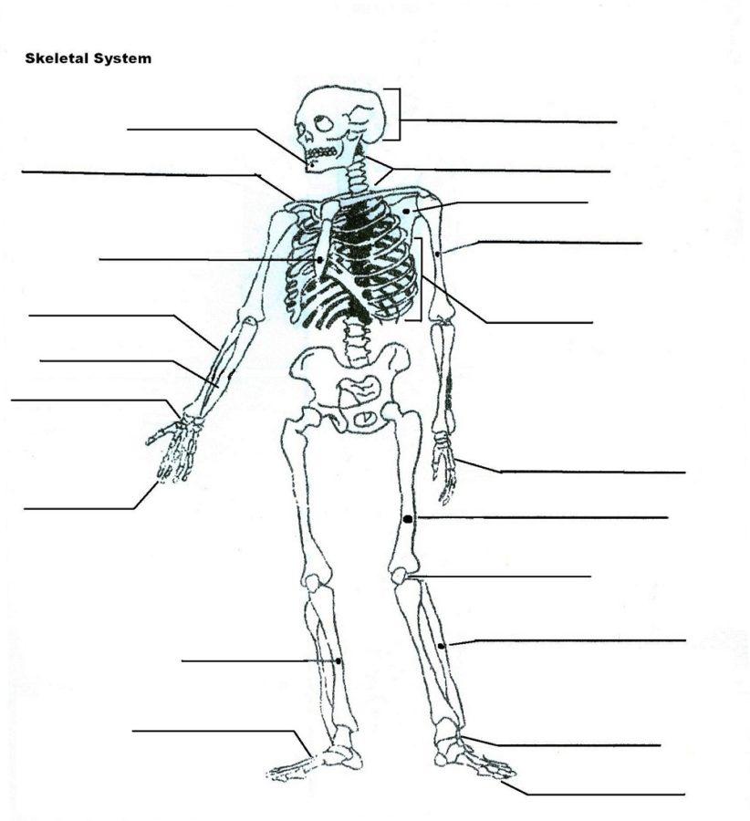 diagram of the skeletal system blank