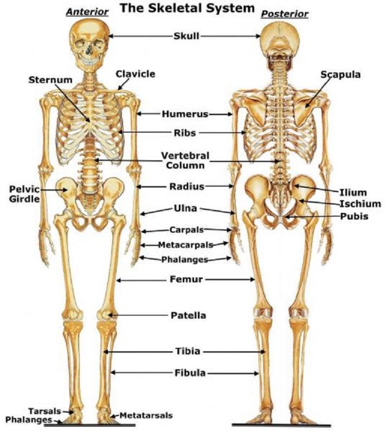 diagram of the skeletal system body