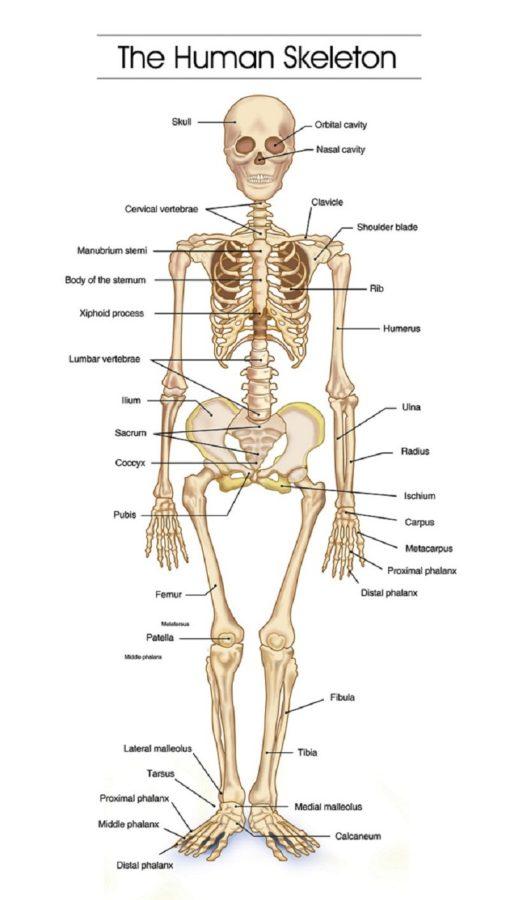 diagram of the skeletal system bones