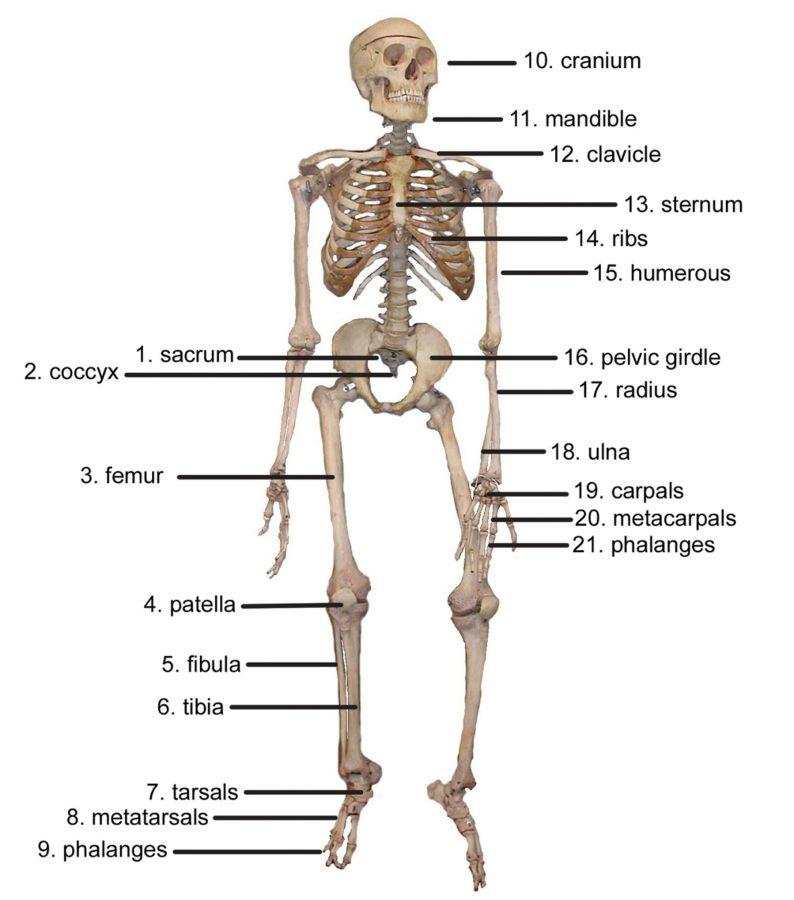diagram of the skeletal system human