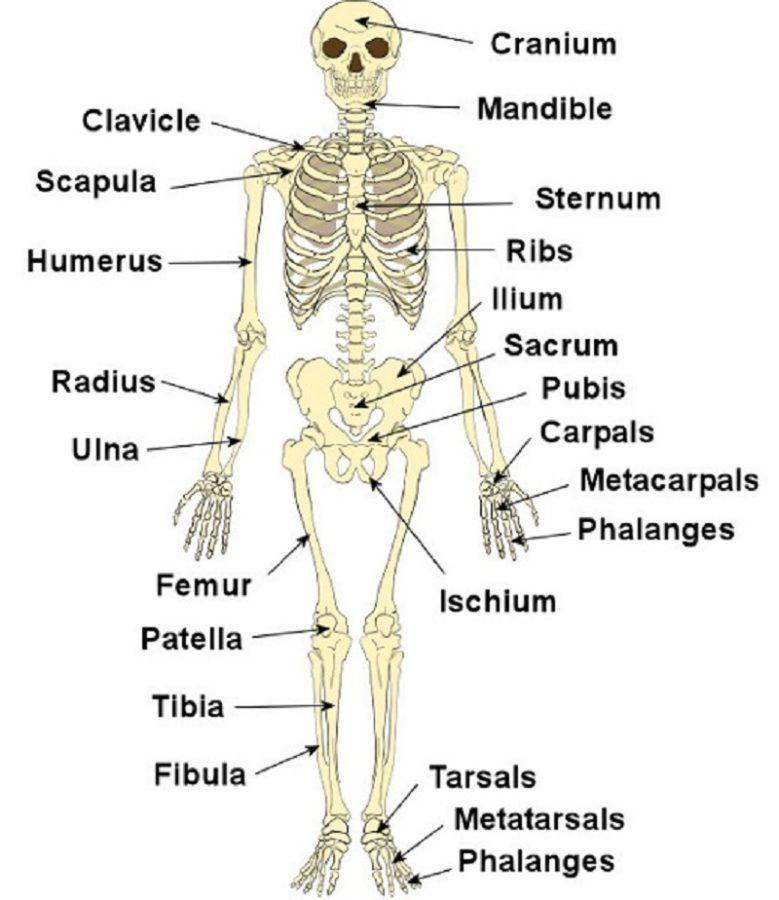 diagram of the skeletal system labeled