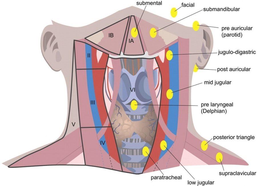 diagram of the throat detail