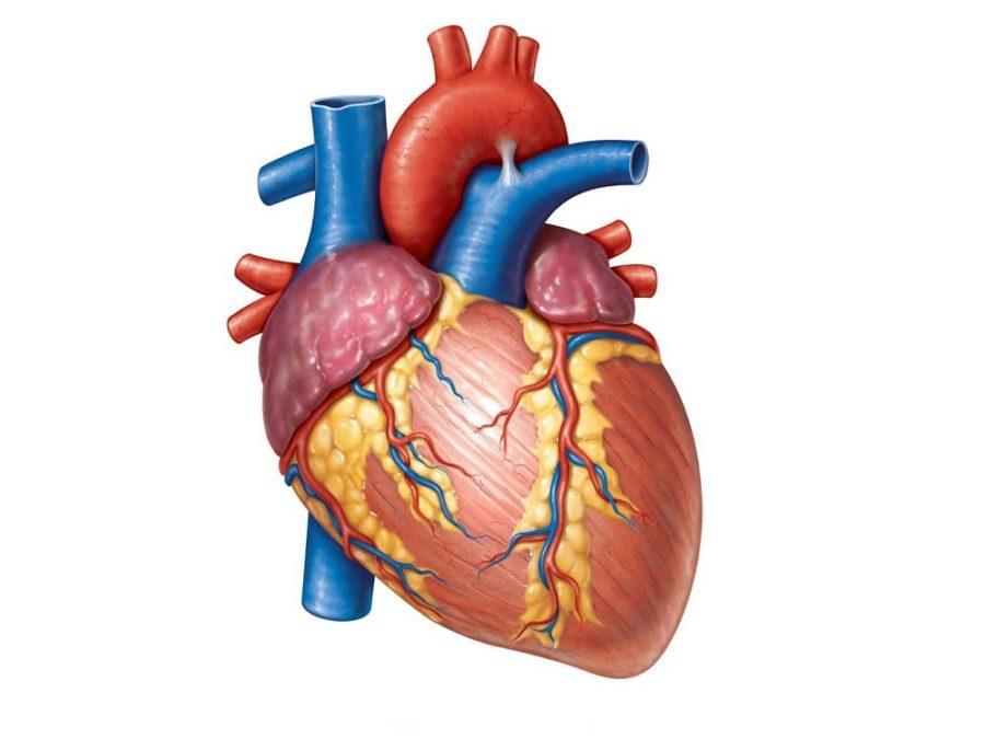 heart diagrams blank