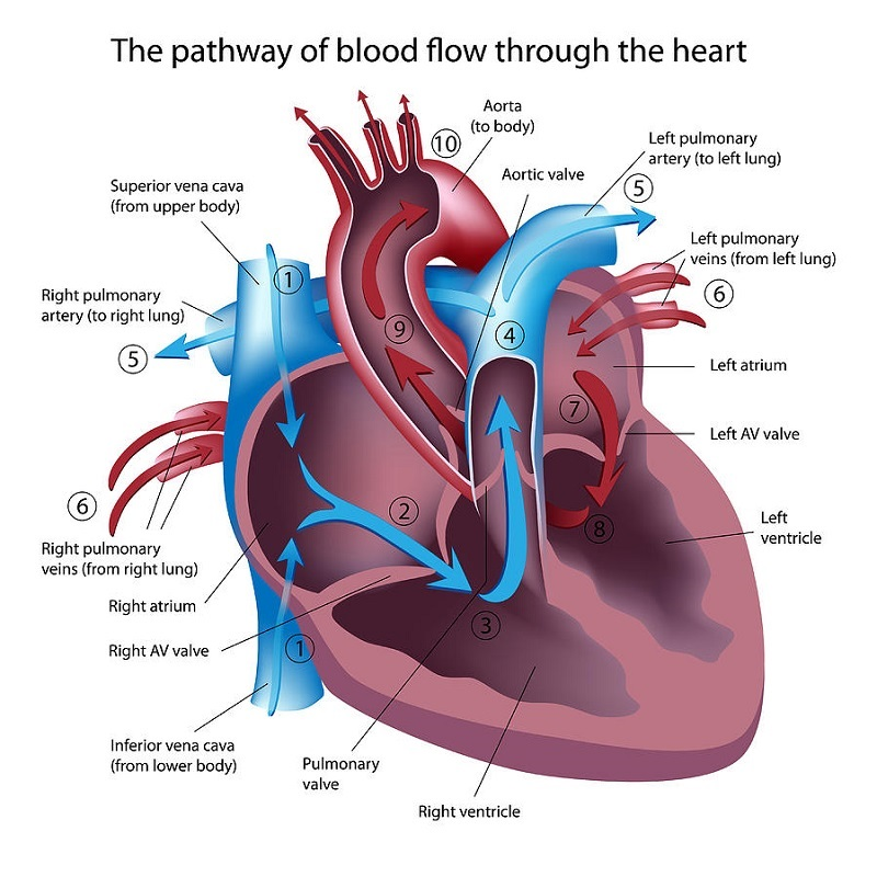 heart diagrams labeled