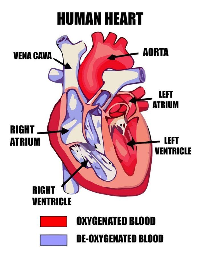 heart diagrams simple