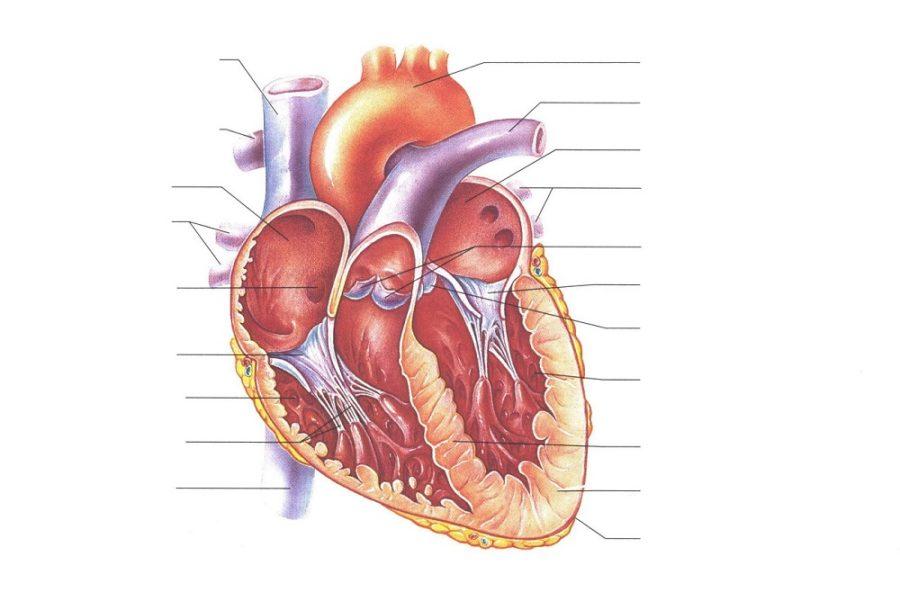 heart diagrams worksheet
