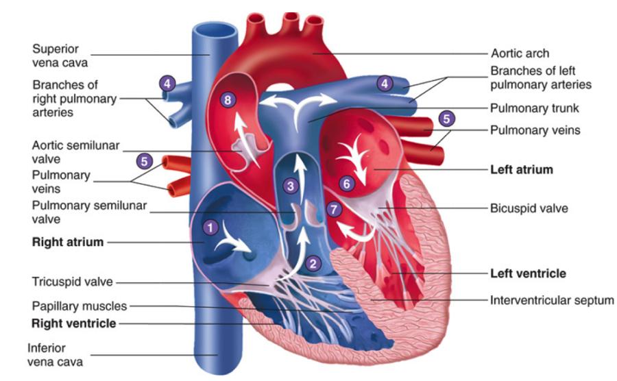 heart flow diagram circulatory