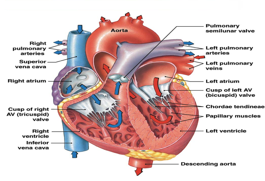 heart flow diagram labeled
