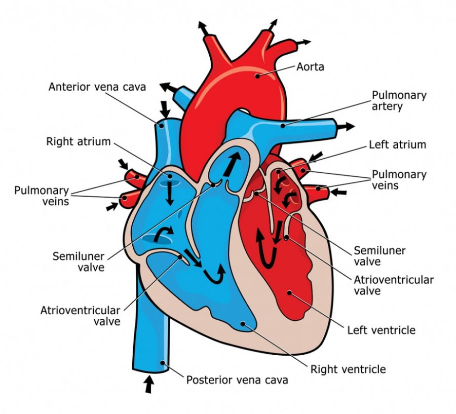 heart flow diagram page