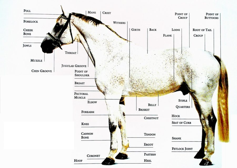 horse diagram anatomy