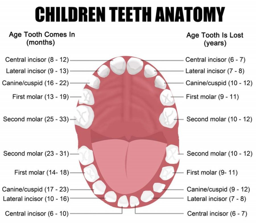 human teeth diagram childreen