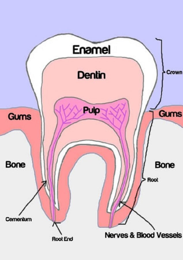 human teeth diagram free