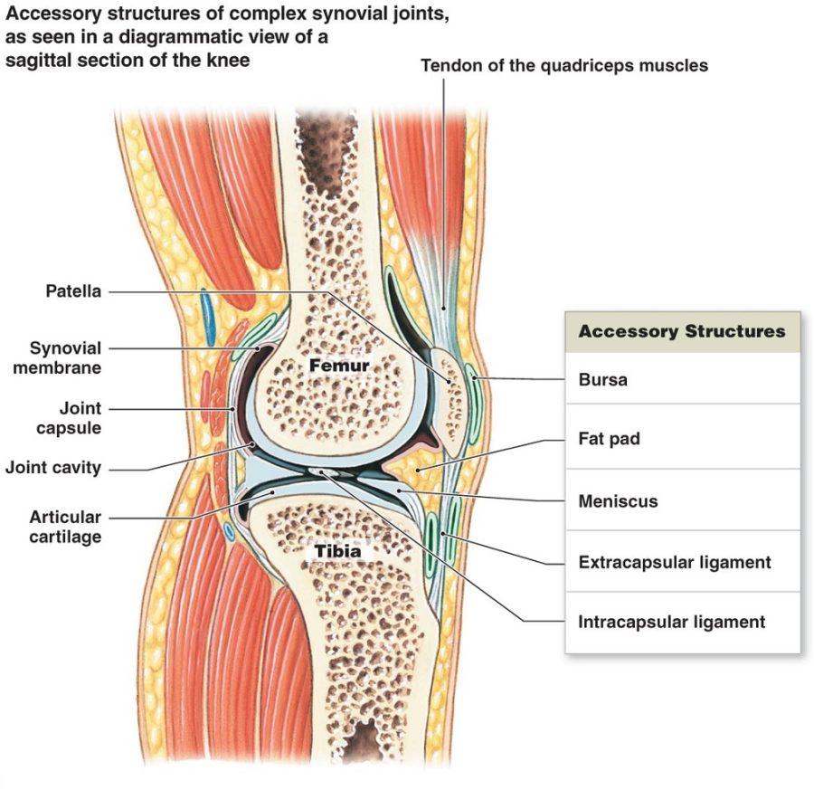 knee ligament diagram image