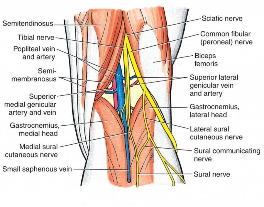 knee ligament diagram labeled