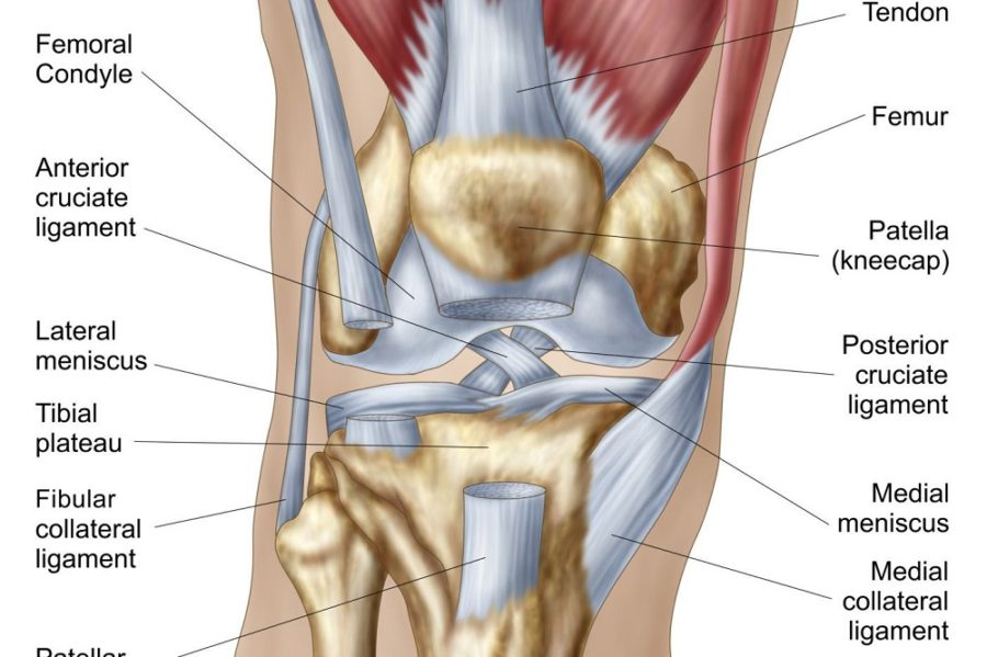knee ligament diagram page