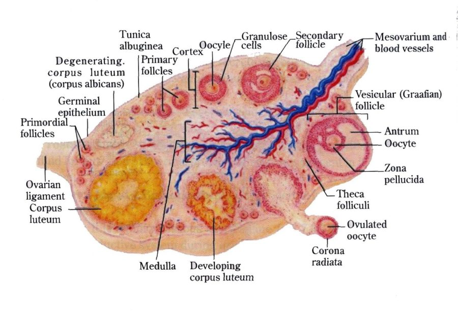 ovary diagram structure