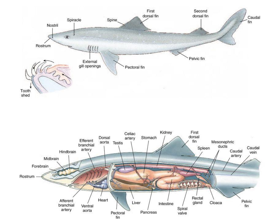 shark diagram detail