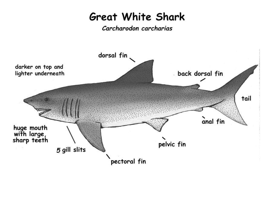 shark diagram image
