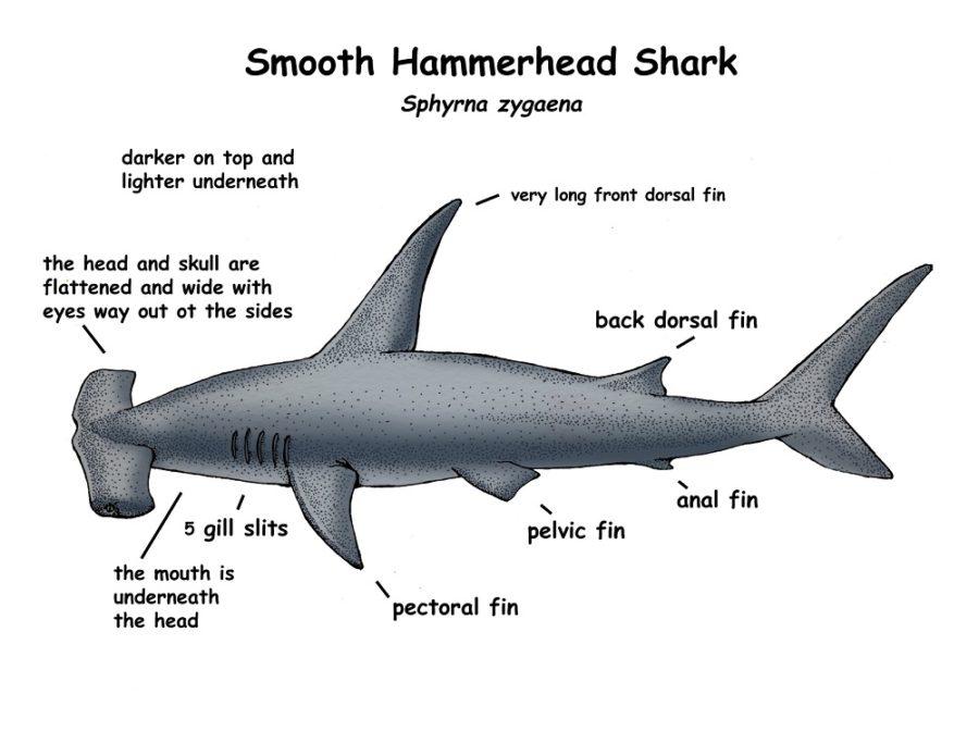 shark diagram page