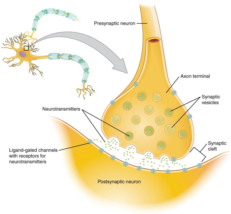 synapse diagram complete
