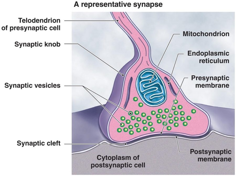 synapse diagram image