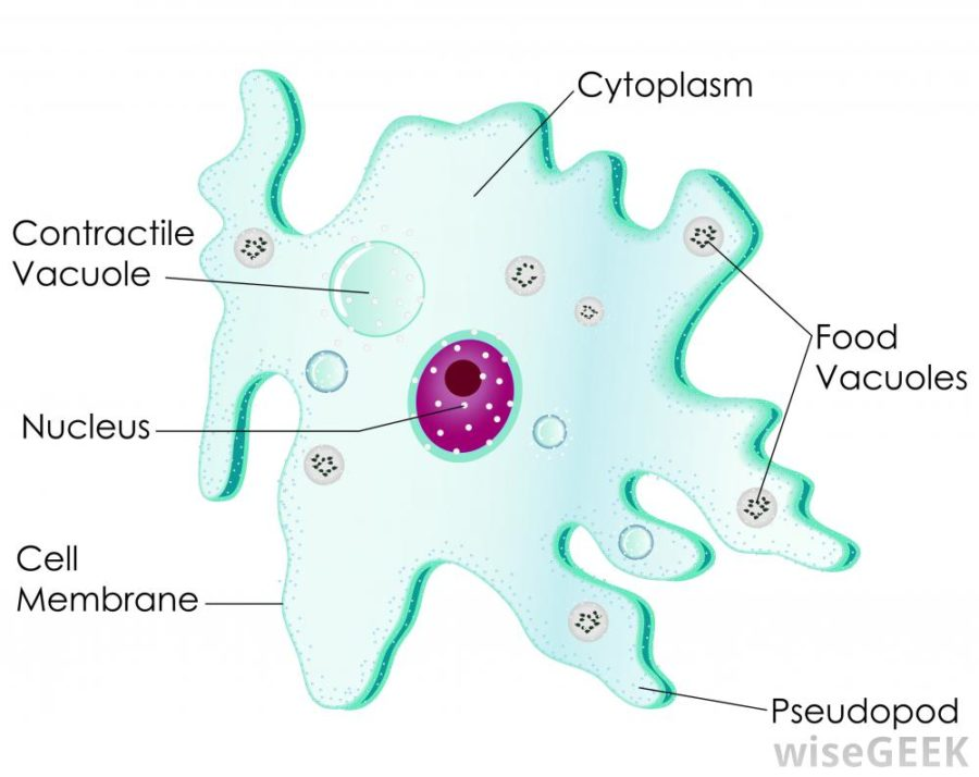 amoeba diagram labeled