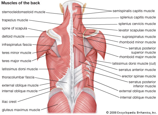 back diagram muscle