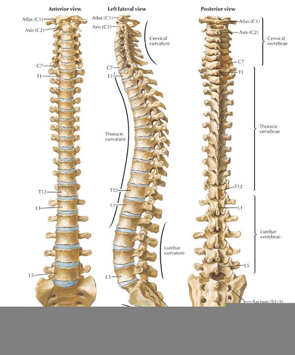 back diagram spine