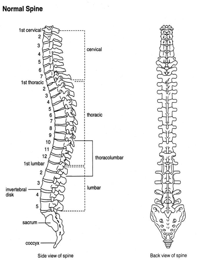 back diagram vertebral