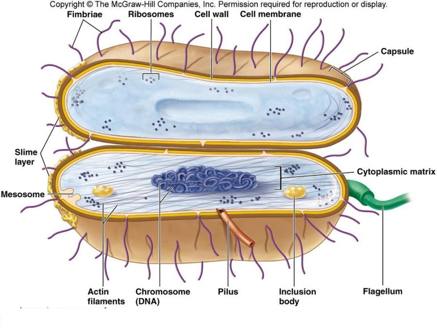 bacterial cell diagram deatil