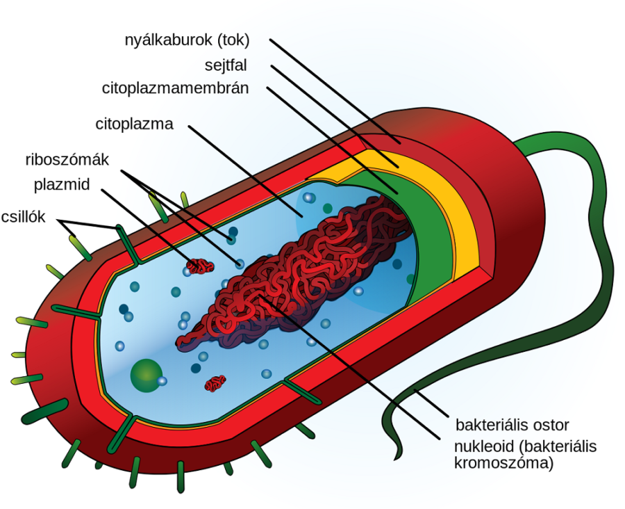 bacterial cell diagram image