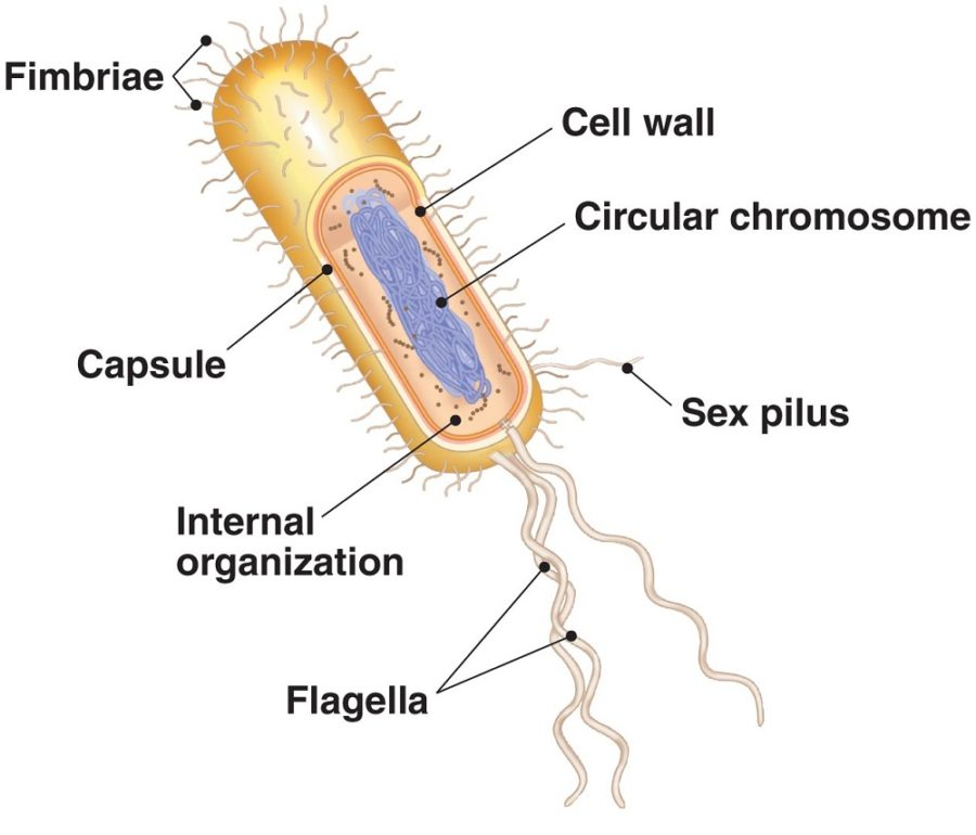 bacterial cell diagram simple