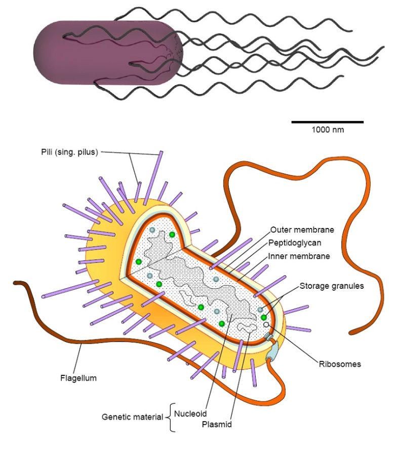 bacterial cell diagram structure