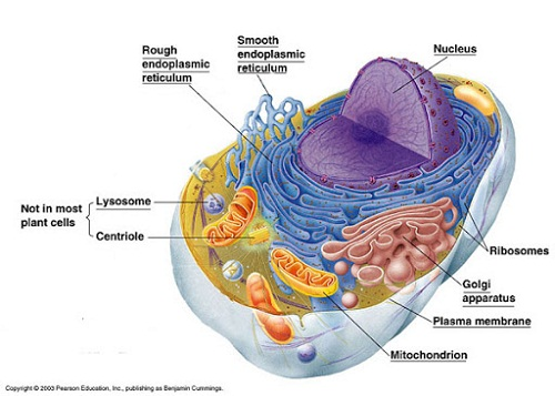 diagram of animal cell labeled