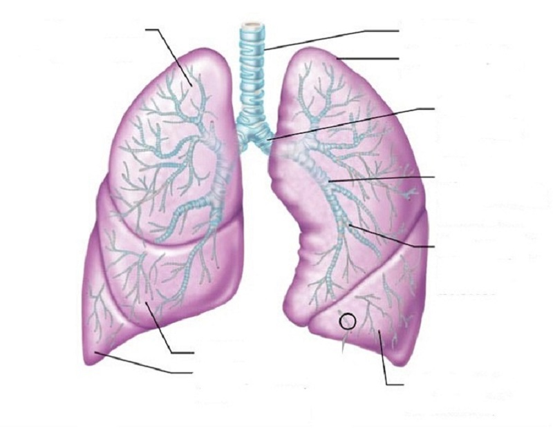 diagram of lungs blank