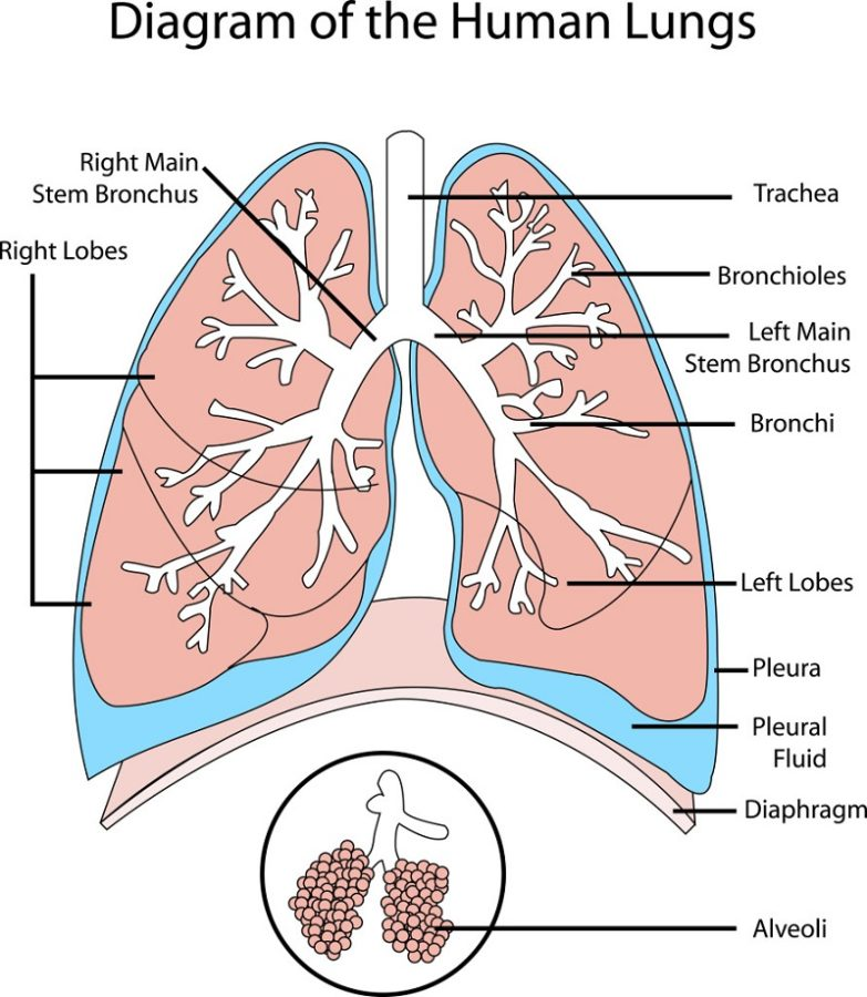 diagram of lungs page